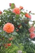 Fab roses