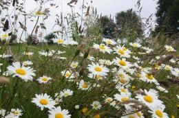 Many daisies